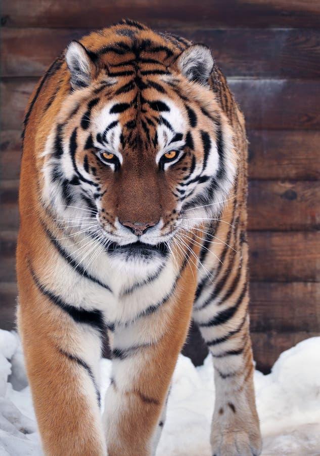 Ilsken seende kamera för tiger arkivbild