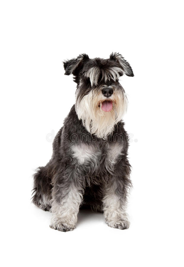 Ilsken seende Schnauzerhund arkivbilder