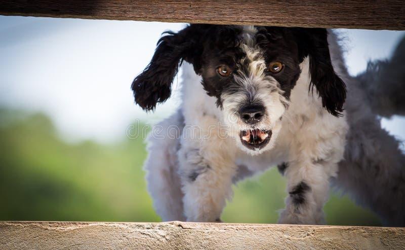 Ilsken svartvit hund arkivbilder
