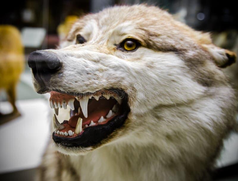Ilsken varg som visar hans tänder royaltyfri foto
