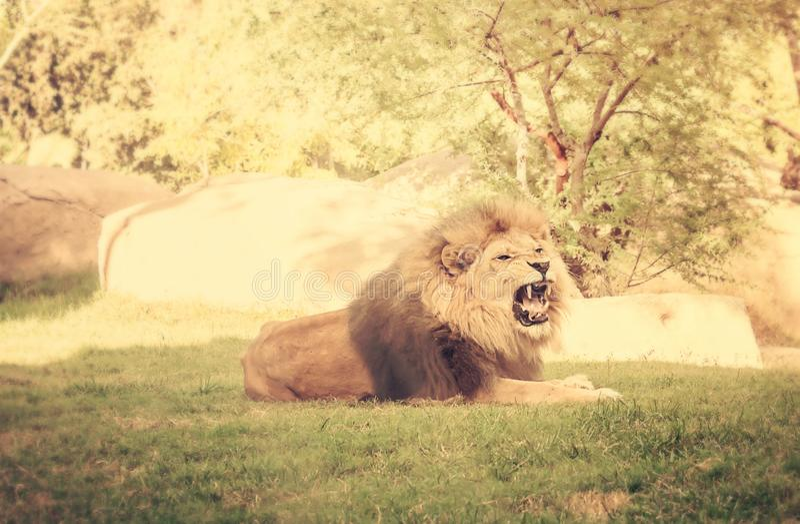 Ilsket rytande lejon royaltyfri fotografi