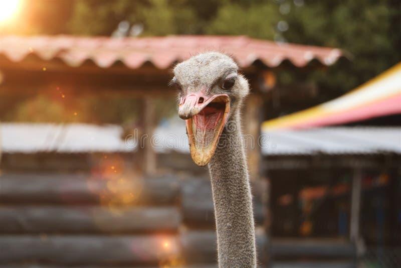 Ilsket strutshuvud, rolig struts aggressiv struts Ilsken bird Natur- och djurlivbegrepp djur- och fågelbakgrund royaltyfria foton