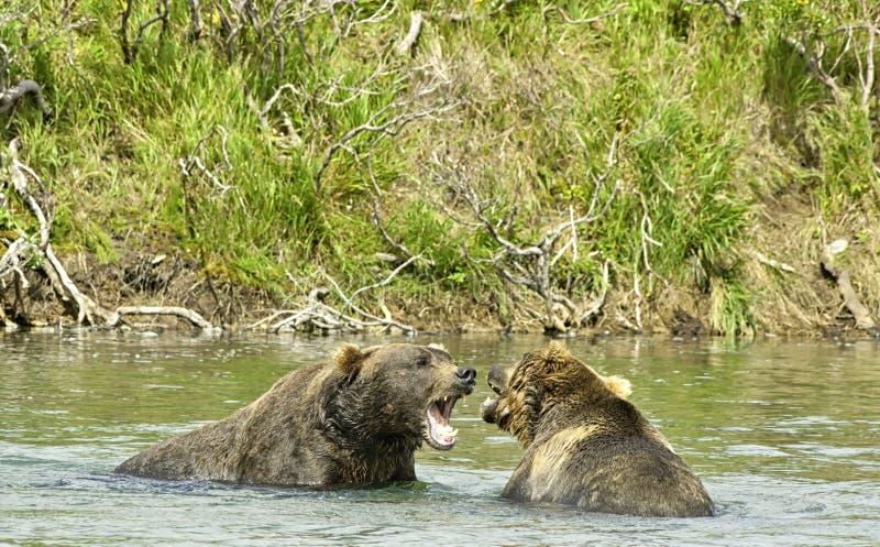 Ilskna jätte- brunbjörnar i Katmai royaltyfri foto