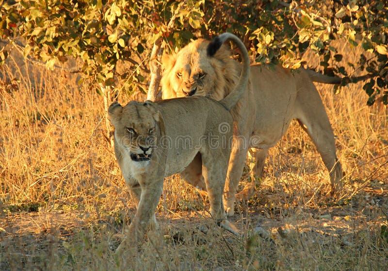 ilskna lions arkivbilder