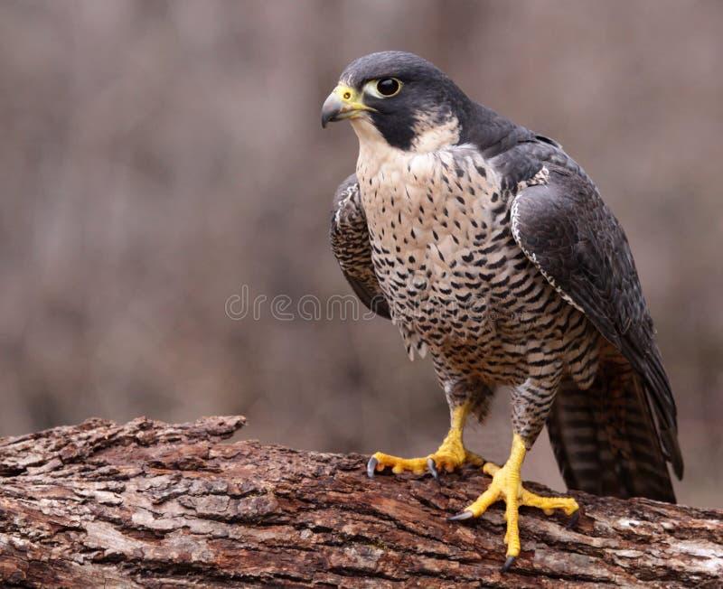 Ilskna Peregrine Falcon arkivfoton