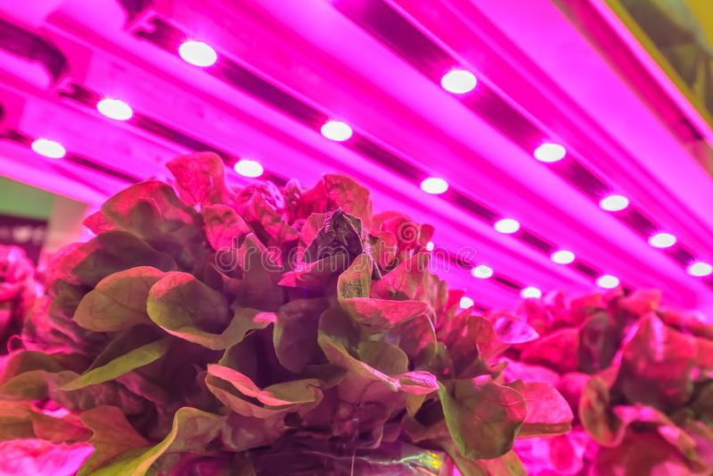 A ilumina??o do diodo emissor de luz usou-se para crescer a alface dentro de um armaz?m fotos de stock royalty free