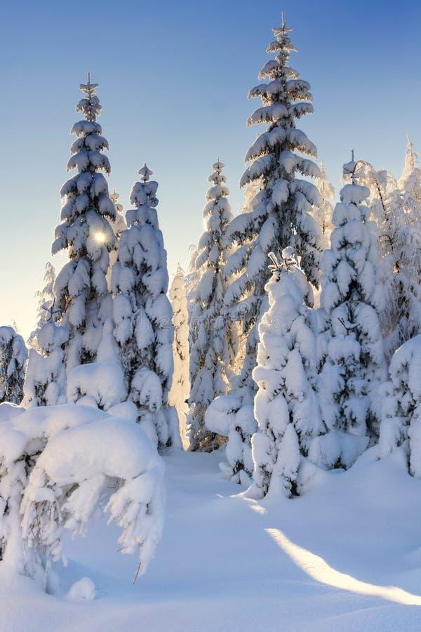 Iluminado por los árboles y los alerces spruce nevados del sol imagenes de archivo