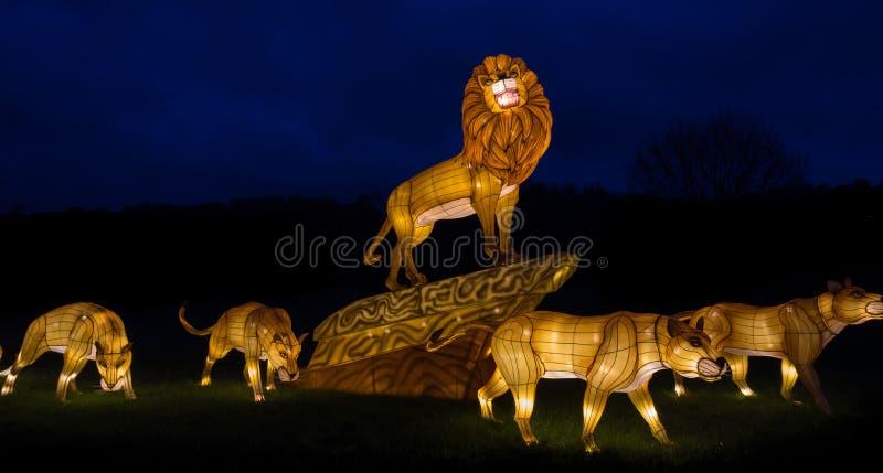 Iluminujący lwa pokaz fotografia stock