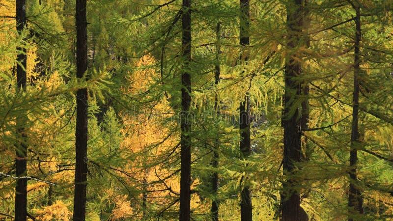 Iluminujący złotego modrzewia las zdjęcia royalty free