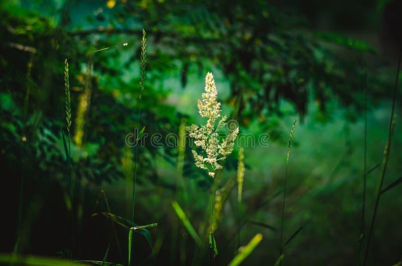 A ilusão de um spikelet de voo que pendura no ar contra um escuro - o fundo verde da floresta da folha o fundo é borrado Sh fotografia de stock royalty free