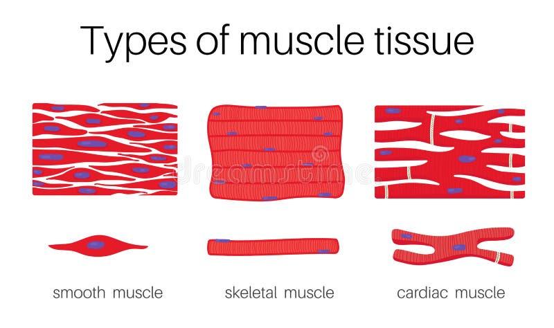 A ilustração é tipos de tecido do músculo ilustração royalty free