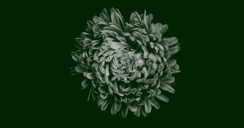 Ilustração abstrata da vista de cima isolada da flor de Chrysanthemum em branco sobre fundo verde escuro Adequado para papel de p imagem de stock royalty free