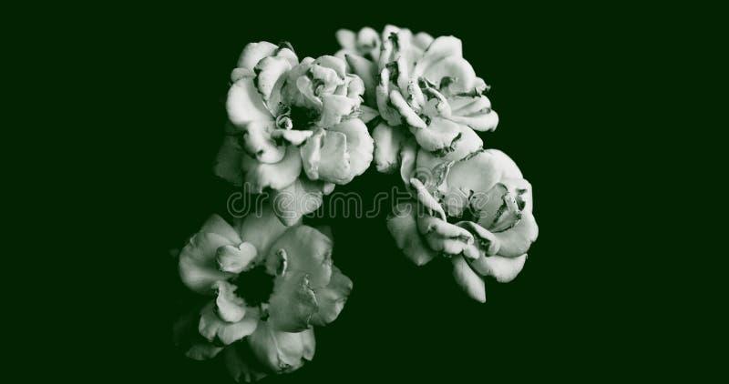 Ilustração abstrata da vista de cima de quatro rosas floridas em branco sobre fundo verde escuro Adequado para papel de parede fotos de stock royalty free