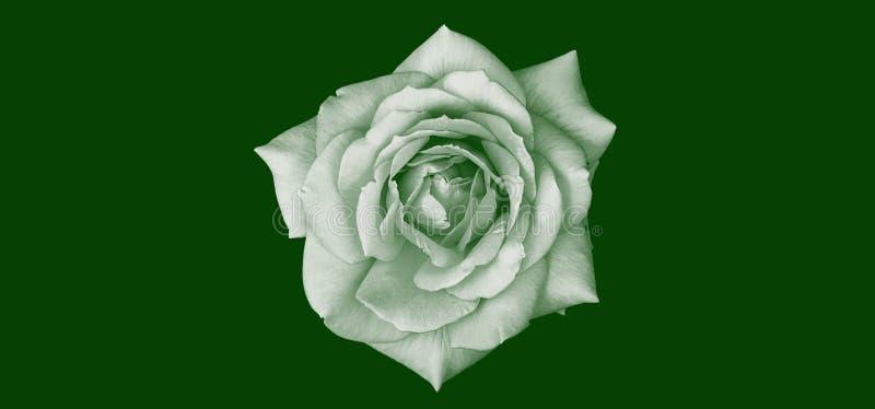 Ilustração abstrata de uma flor de rosa isolada em branco sobre fundo verde escuro Adequado para papel de parede, capa de livro imagens de stock royalty free
