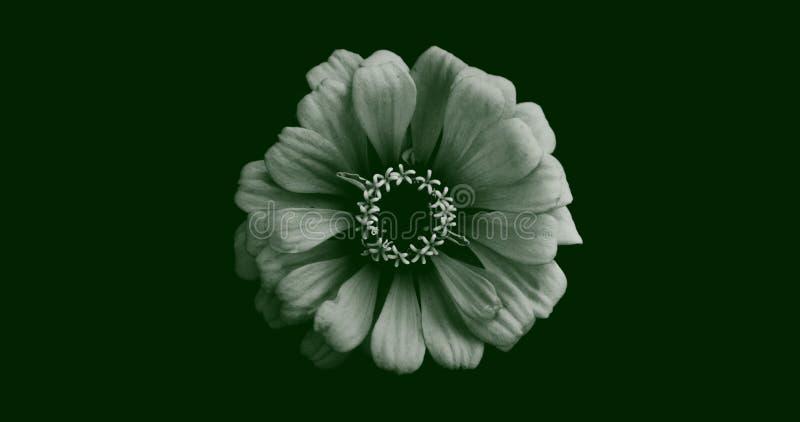 Ilustração abstrata de uma vista isolada de flor de gerbera no topo, em branco sobre fundo verde escuro Adequado para papel de pa imagens de stock