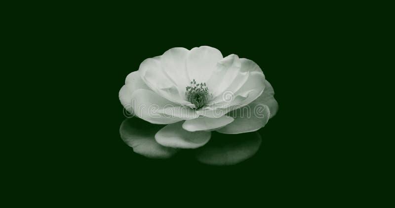 Ilustração abstrata de uma vista isolada de flor de rosa no topo em branco sobre fundo verde escuro Adequado para papel de parede imagem de stock