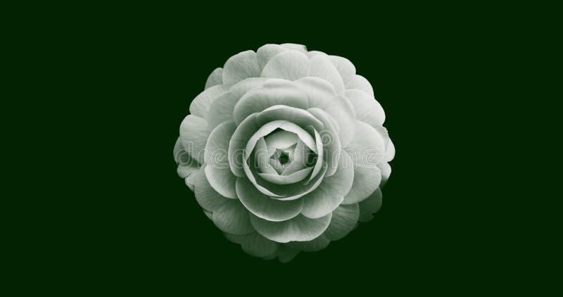Ilustração abstrata de uma vista isolada de flor de rosa no topo em branco sobre fundo verde escuro Adequado para papel de parede fotografia de stock