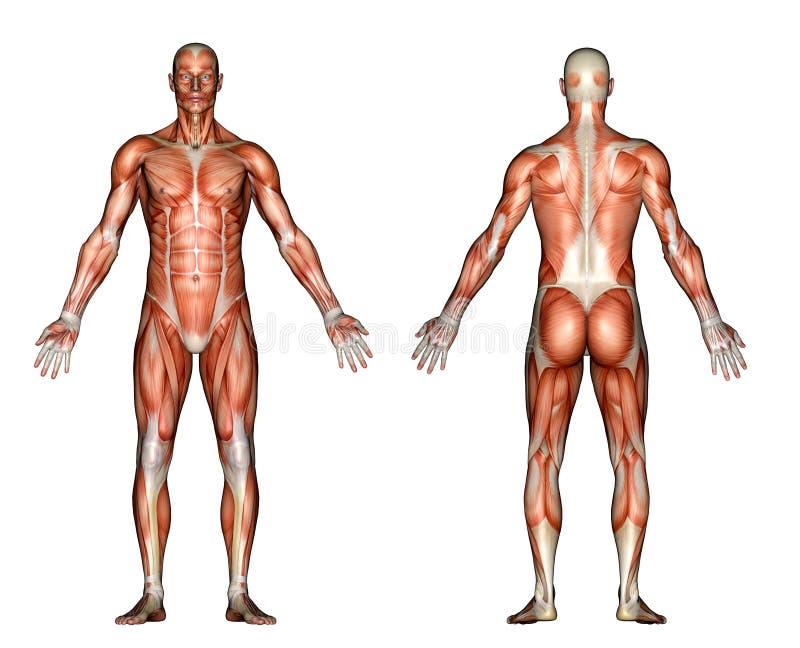 Ilustração - anatomia masculina ilustração royalty free