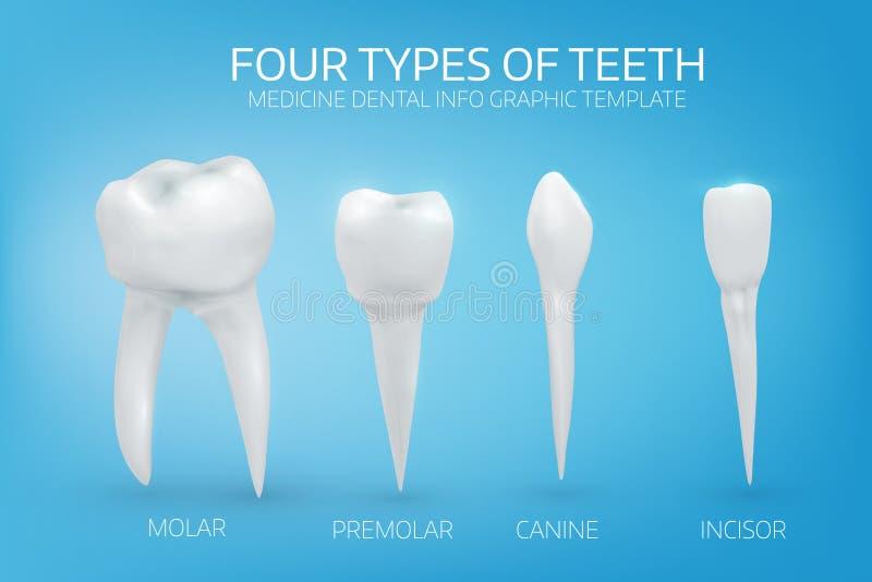 Ilustração anatomicamente realística dos tipos de dentes humanos ilustração do vetor