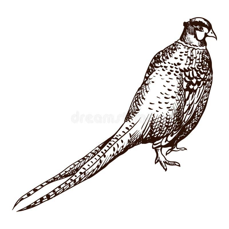 Ilustração antiga do faisão da gravura ilustração royalty free