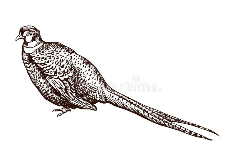 Ilustração antiga do faisão da gravura ilustração do vetor