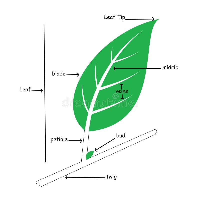 Ilustração básica da anatomia da folha simples fotografia de stock