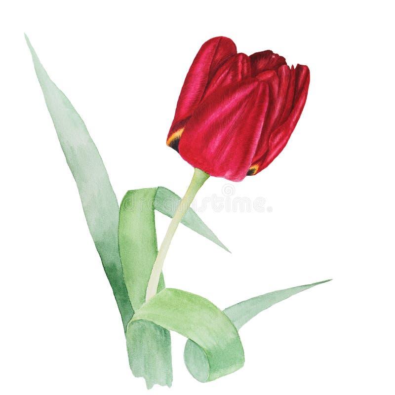 Ilustração botânica da aquarela da tulipa vermelha com as folhas do verde isoladas no fundo branco ilustração royalty free
