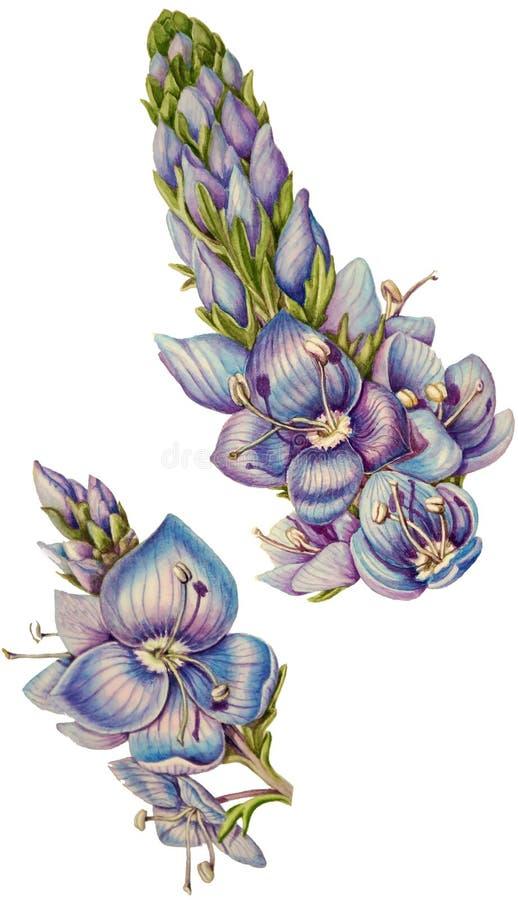 Ilustração botânica da aquarela de flores selvagens e de botões do Veronica ilustração stock