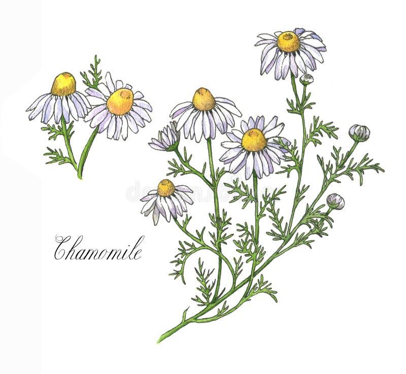 Ilustração botânica da aquarela desenhado à mão da planta, das flores, das folhas e da raiz da camomila ilustração stock