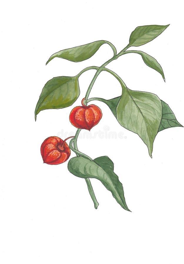 Ilustração botânica da aquarela do physalis ilustração do vetor