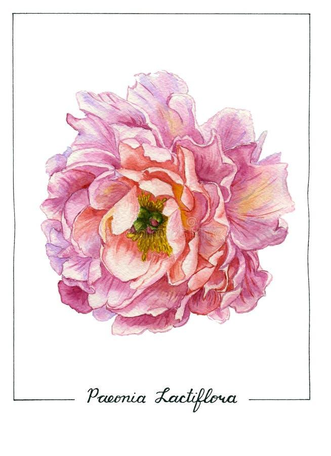 Ilustração botânica da aquarela da flor da peônia isolada no fundo branco Flor luxúria do verão do rosa da multi-pétala co ilustração royalty free