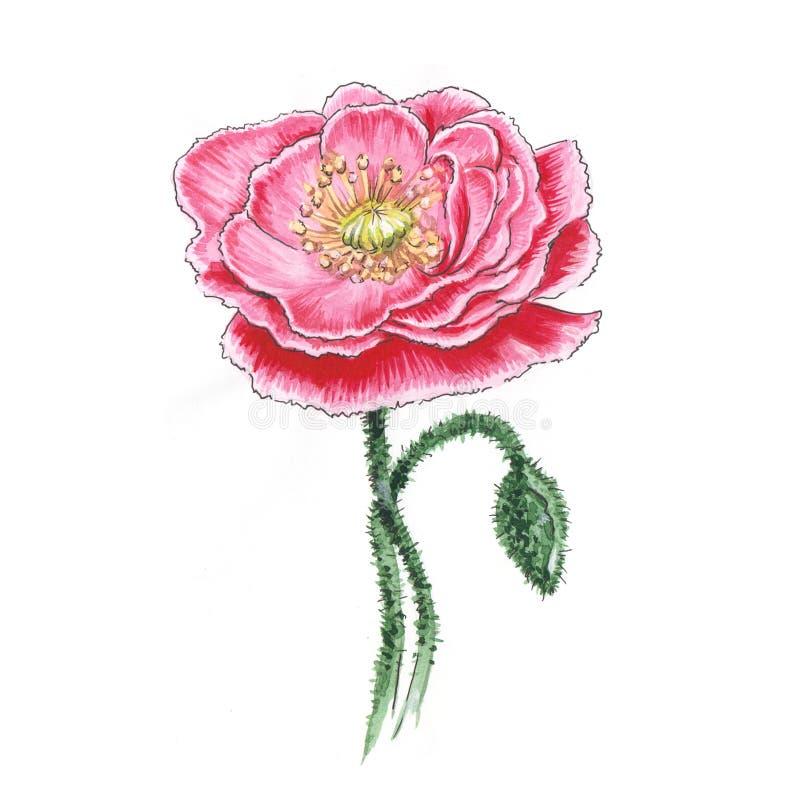 Ilustração botânica da aquarela da papoila cor-de-rosa ilustração do vetor