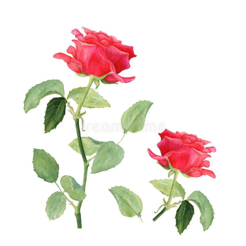 Ilustração botânica da aquarela da rosa do vermelho isolada no fundo branco fotos de stock royalty free