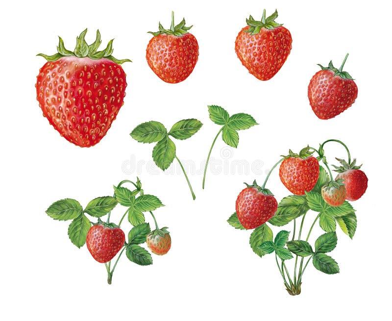 Ilustração botânica da morango, dos frutos e da planta fotos de stock