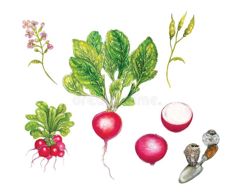 Ilustração botânica realística da aquarela do rabanete vermelho Raphanus sativus fotografia de stock