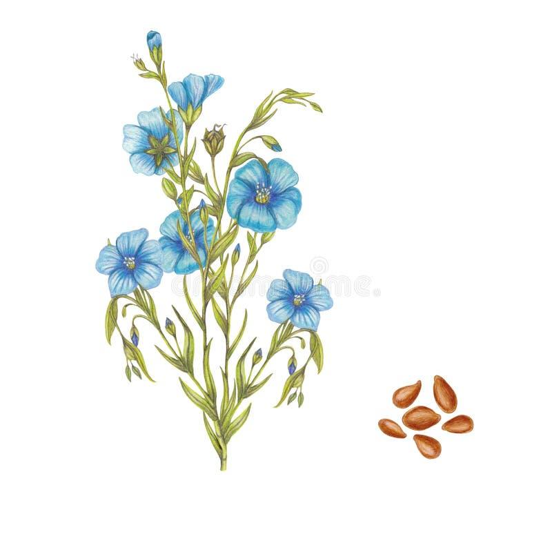 ilustração botânica tirada mão da planta do linho ilustração do vetor