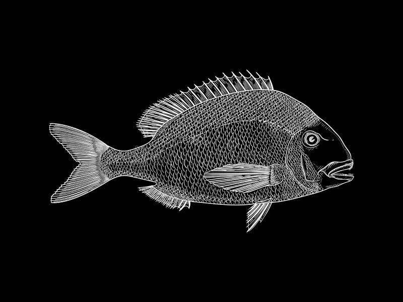 Ilustração branca do vetor do sargo imagem de stock