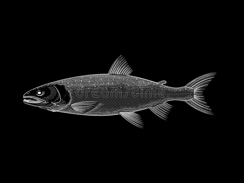 Ilustração branca dos salmões no fundo preto fotos de stock royalty free