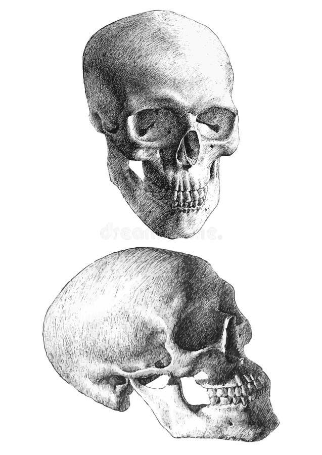 Ilustração com os dois crânios anatômicos fotografia de stock royalty free