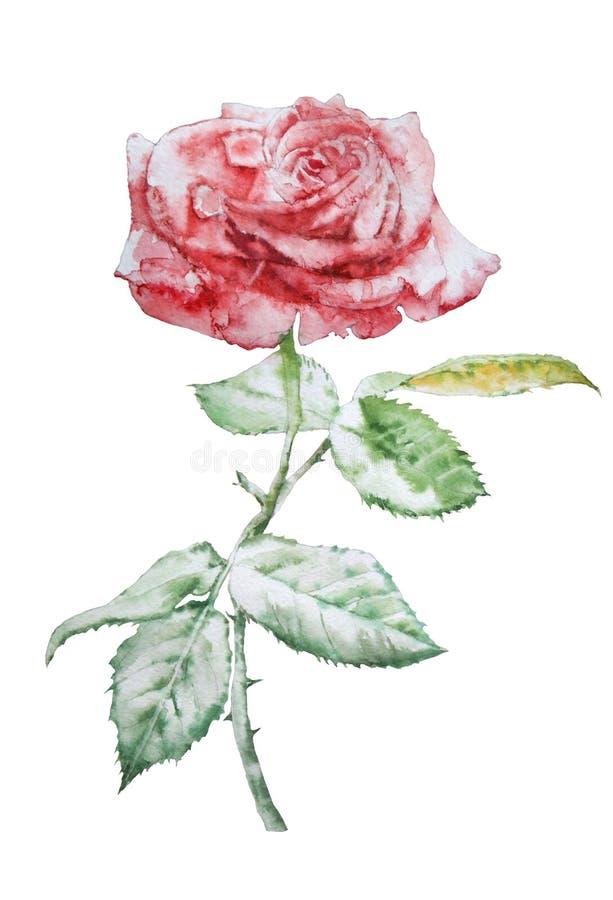 A ilustração com vermelho levantou-se watercolor ilustração do vetor