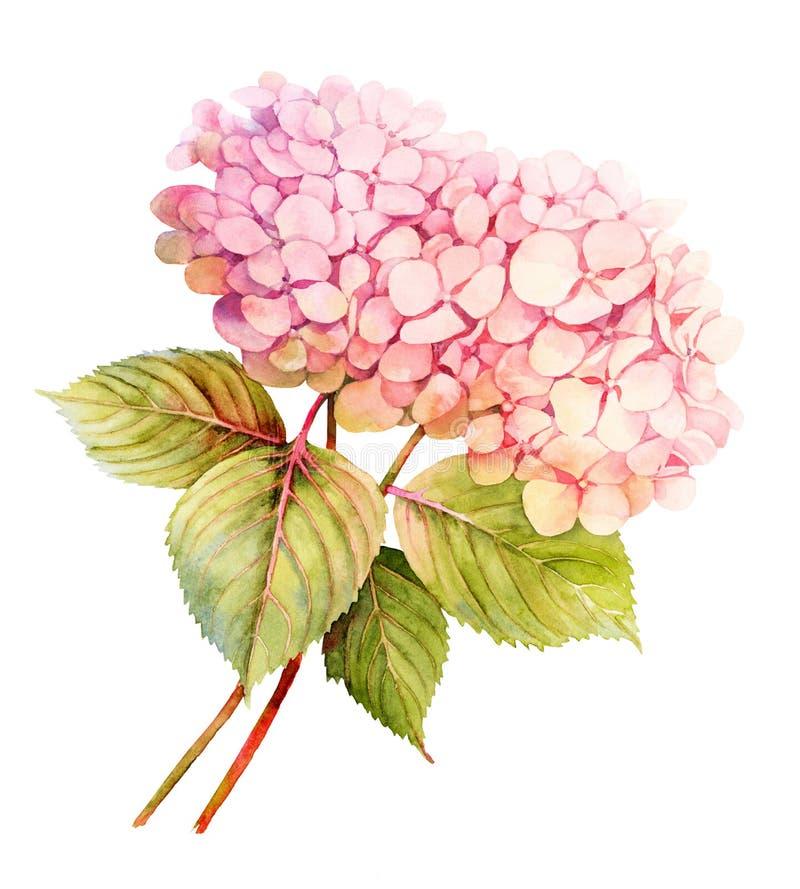 Ilustração cor-de-rosa da flor da aquarela de duas hortênsias ilustração royalty free