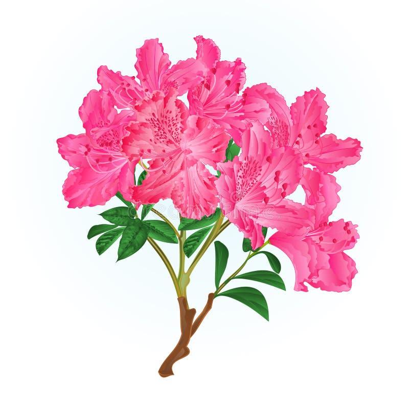 Ilustração cor-de-rosa do vetor do vintage do arbusto da montanha do ramo do rododendro editável ilustração royalty free