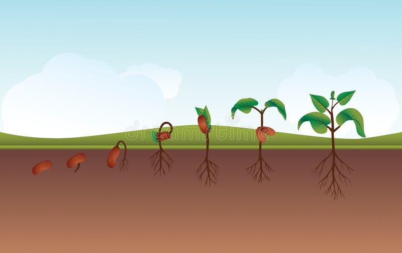 Ilustração crescente do processo da planta ilustração royalty free
