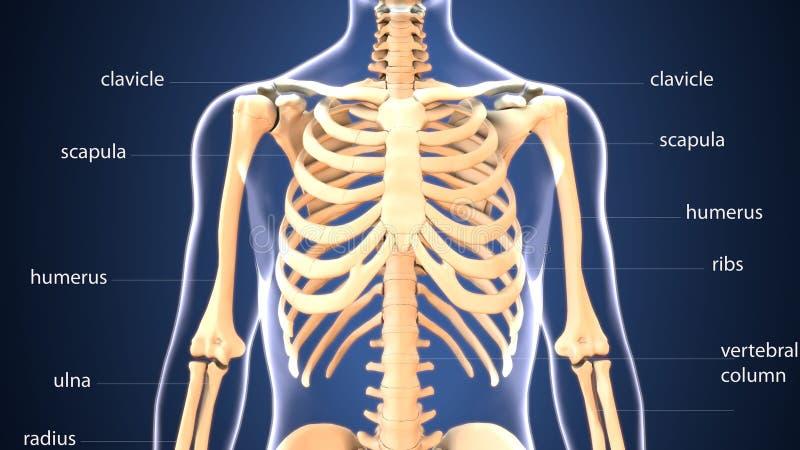 ilustração 3d da anatomia do esqueleto do corpo humano ilustração royalty free