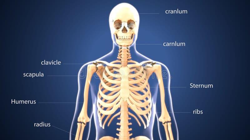 ilustração 3d da anatomia do esqueleto do corpo humano ilustração do vetor
