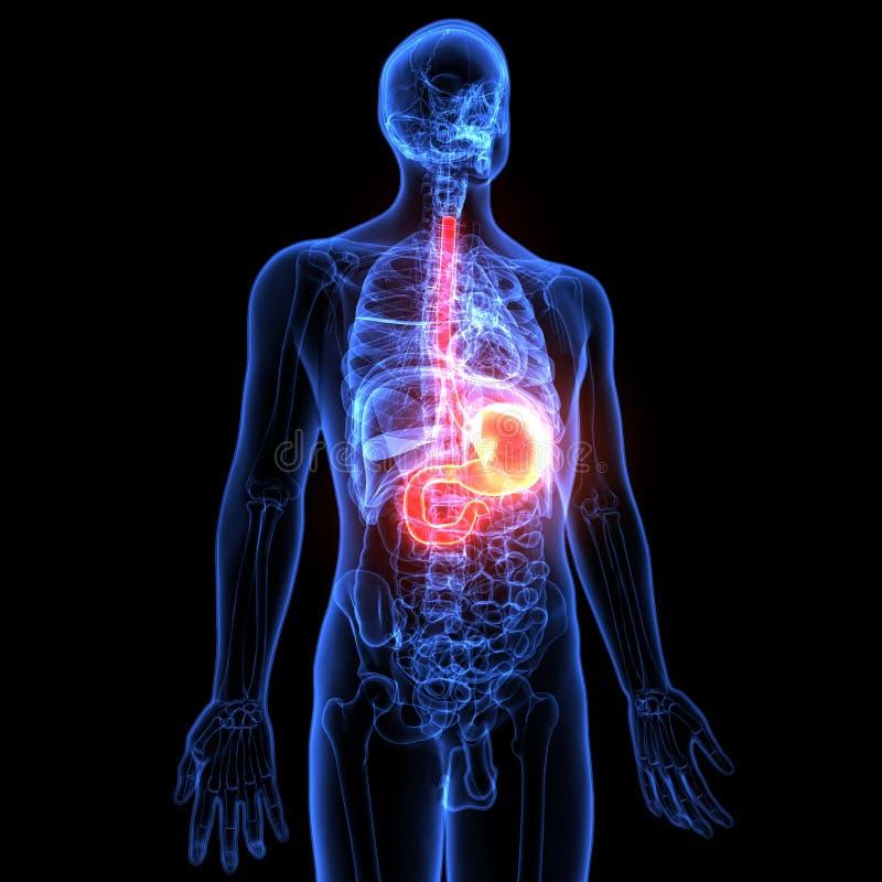 ilustração 3d da anatomia do estômago do corpo humano ilustração royalty free