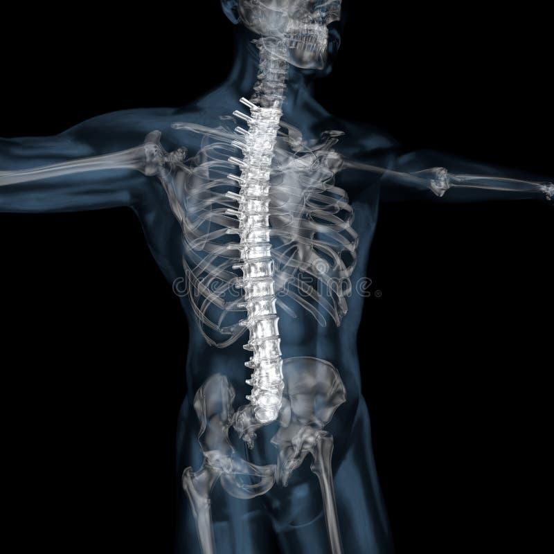 ilustração 3d da coluna vertebral esqueletal de corpo humano ilustração do vetor