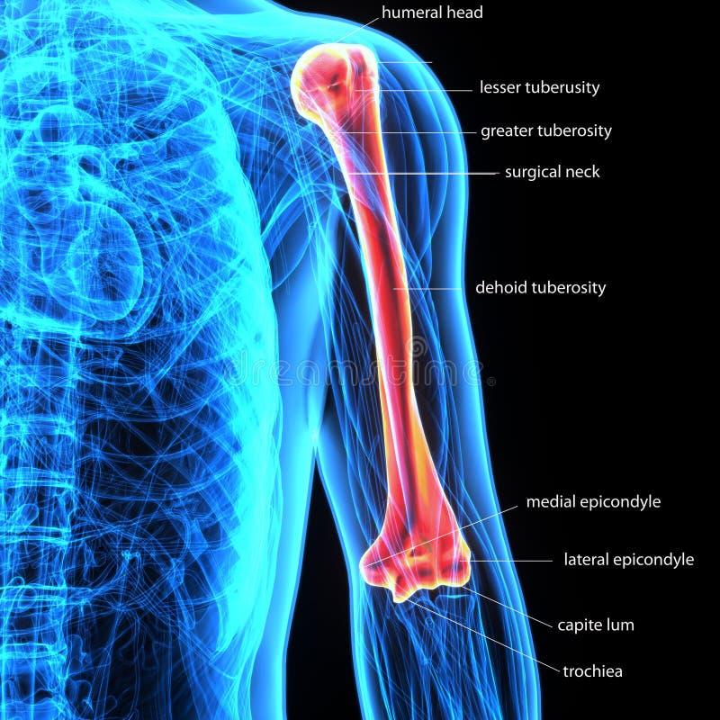 ilustração 3D do úmero da anatomia das dores articulares do osso do corpo humano ilustração stock