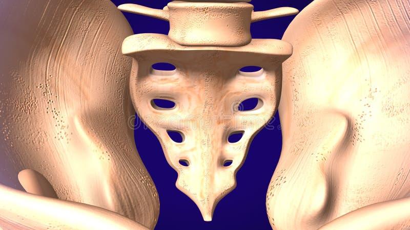 ilustração 3d do osso de esqueleto do sacro do bebê humano ilustração stock