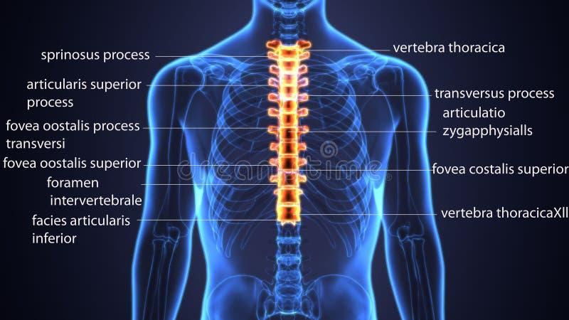 ilustração 3d do osso torácico das vértebras do corpo humano ilustração do vetor
